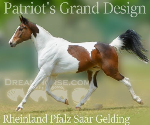 Bay Rheinland Pfalz Saar Gelding, Athletic Elegant 2012 BAY TOBIANO PINTO PREMIUM RPSI GELDI in Washington. DreamHorse.com is the premier horse classifieds site with horses for sale, lease, adoption, and auction, breeding stallions, and more.