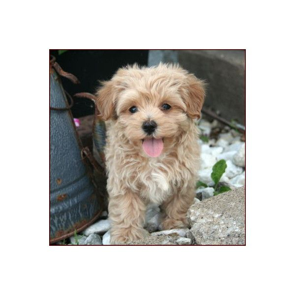 Maltipoo Puppies 4 Sale| Apricot Puppy| Dog Breeders | Iowa ❤ liked on Polyvore