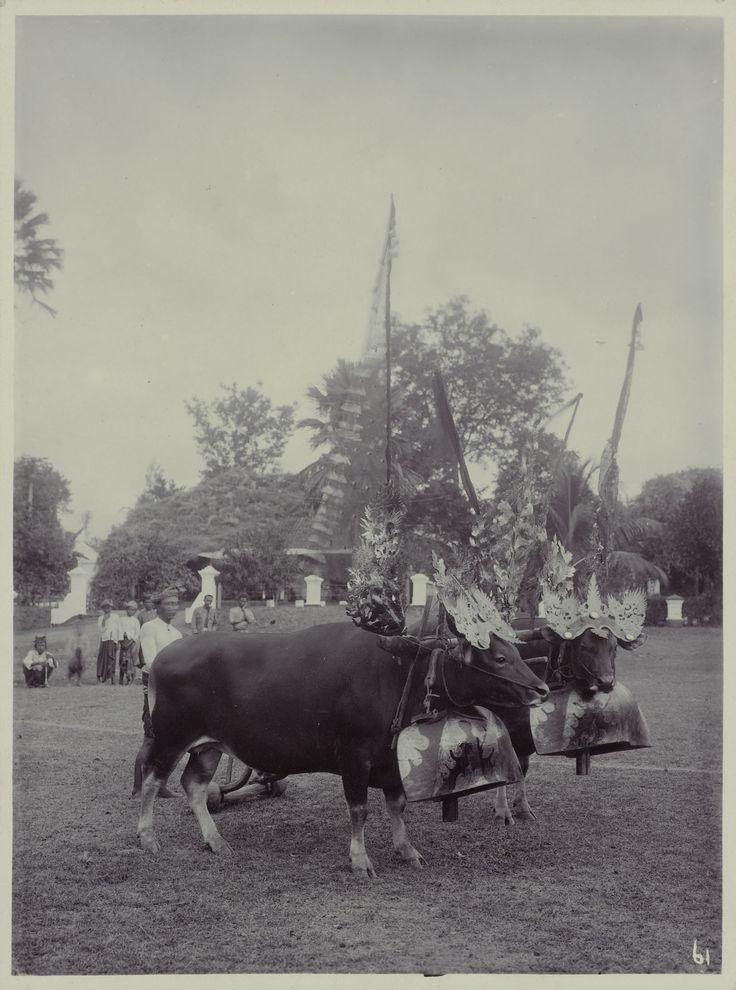 Twee stieren uitgedost ter gelegenheid van de stierenrace, megrumbungan, waarschijnlijk op Bali