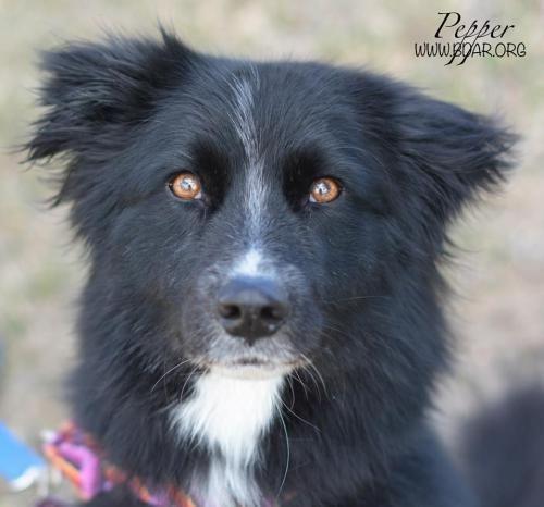 Pepper - Border Collie mix - 5 yrs old - Female - Black Dog Animal Rescue - Cheyenne, WY. - http://www.bdar.org/adoptable-animals/adoptable-animals/ - https://www.facebook.com/BlackDogAnimalRescue - http://www.adoptapet.com/pet/12689357-cheyenne-wyoming-border-collie-mix - http://www.petango.com/Adopt/Dog-Border-Collie-25226392 - https://www.petfinder.com/petdetail/31823993/