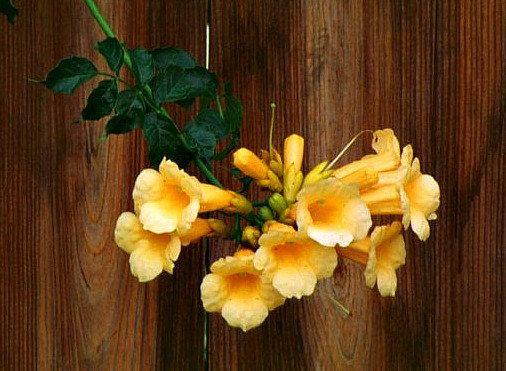 Trompeta dorada de la vid es una cepa vigorosa que es magnífico, con fuerte crecimiento, y muy fácil de cultivar. Enormes racimos de flores de 6 de oro cubren la vid leñosa de primavera a otoño. Crece a 40, derrama sobre los tejados y enrejados, trae colibríes de millas alrededor. El rojo se ha visto. Este es oro puro.  Originario de la costa del Golfo, prospera en las regiones más templadas, es resistente en las zonas 6 y 11, es calor y tolerantes a la sequía. Las flores grandes y hojas…