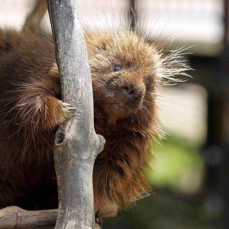いいね!125件、コメント3件 ― masatak@さん(@no_life_no_zoo)のInstagramアカウント: 「Porcupine Lurie ♀ [2016-04-23 撮影] #ZOO #動物園 #動物 #animallover #東山動物園 #カナダヤマアラシ #cute #三元亭写真部 #ヤマアラシ…」