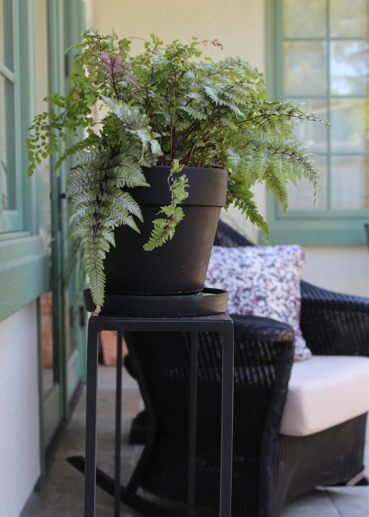 Japanese painted fern as potted house plant via gardenista for Indoor japanese garden plants