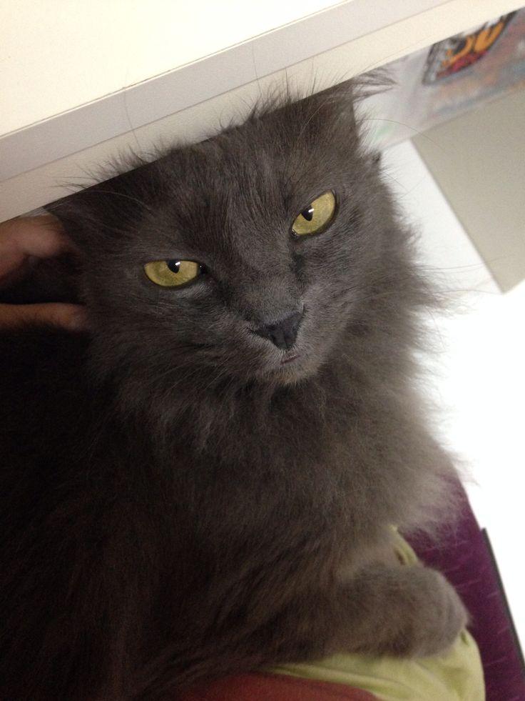 55 best my nebelung cat duman smoke  images on pinterest