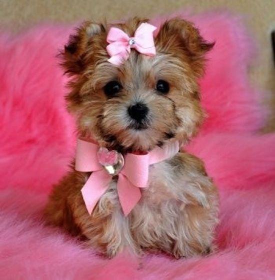 cute morkies morkie poos and yorhies | Cute Picture | Puppy | Yorkie in Pink | Cutearoo | Puppies, Kittens ...