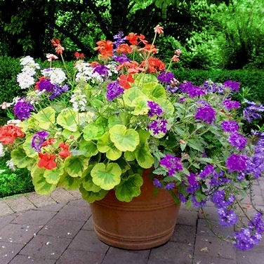 13 best mixed containers images on pinterest container garden geranium crystal palace gem white purple verbena lavender fanflower mightylinksfo