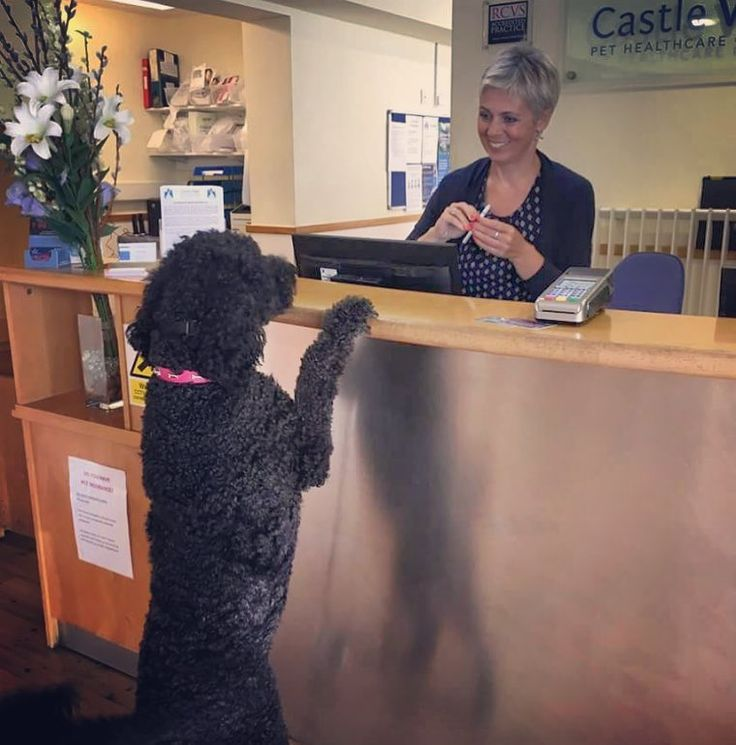 This weeks #meettheteammonday is Amanda! And here is Dolly meeting her at reception!! Amanda has been working at Castle Vets as a receptionist since 2010. At home she has two cats called Lord Baggy and Fred two bearded dragons called Bruce and Sheila and a tortoise called Lady Floella  #meettheteammonday #reception #team #mondays #castlevetsreading #vets #vetsofinstagram #instavet #vetnurses #labradoodle #dolly #labrador #poodle #dogs #dogsofinstagram via: #probeatzpromo