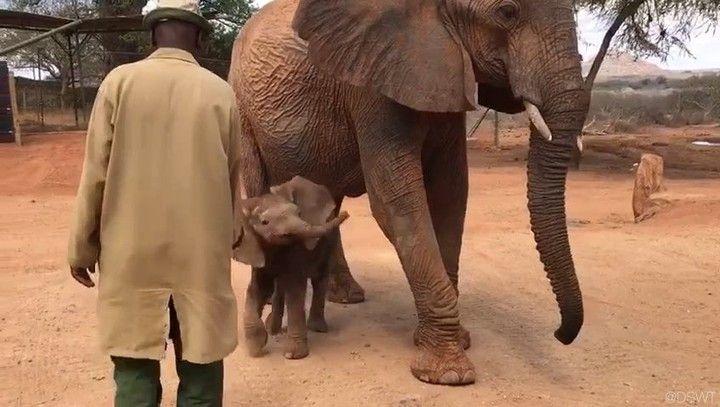 David Sheldrick Wildlife Trust (@dswt) on Instagram: Video © David Sheldrick Wildlife Trust   #DSWT #Nasalot #NasalotDSWT #Nusu #NusuDSWT #ithumba #ithumbareintegrationunit #whyilovekenya #kenya #africa #magicalkenya #savetheelephants #saynotopoaching #racingextinction #jointheherd #DSWTat40 #worthmorealive #antipoaching #ivorybelongstoelephants