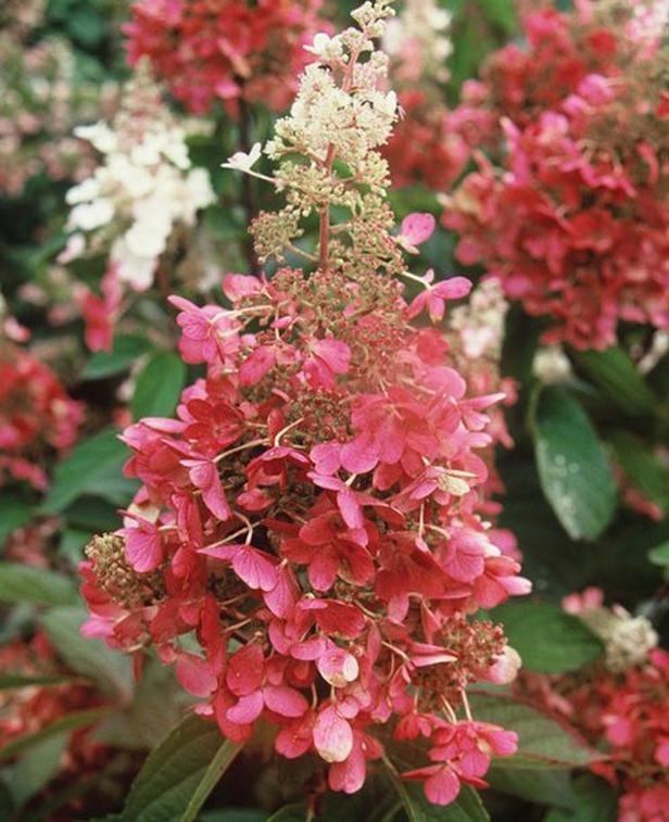 "Oakleaf hydrangea 'Pinky Winky' (Hydrangea paniculata 'Pinky Winky'). Named after a character on the popular ""Teletubbies"" children's show, this deciduous shrub produces two-toned panicles of white and pink from mid-summer into fall. Strong, upright red stems bear impressive 16-inch long flower heads without drooping. Can be pruned to stay small or allowed to reach its mature size of eight feet tall and wide. Tolerant of many climate and soil conditions. USDA Zones 3 to 7."