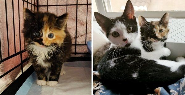 Woman Went To Local Rescue For A Kitten But Couldn T Leave Her Adopted Sister Behind Kitten Adoption Kittens Calico Kitten