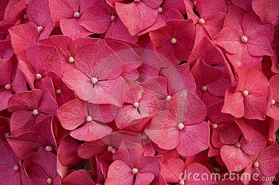 De Rode Bloem Van De Hydrangea Hortensia