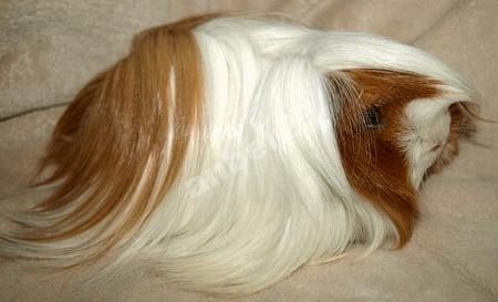 świnka morska peruwianka - Szukaj w Google