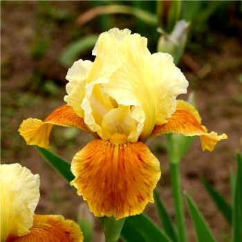 """Honey Glazed"" ~ Bearded Iris, Gardening, Landscaping"