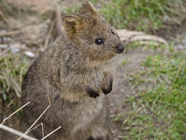Australia es una de esas zonas en las que bulle la vida y en la que se encuentran las especies más curiosas y extrañas del planeta. Entre mamíferos, reptiles, peces, insectos... Australia no podía faltar en esta lista. Uno de sus animales más característicos y más accesibles es el quokka, del tamaño de un gato y sin temor a los humanos.  Otras especies que conforman la fauna australiana son: el dingo, el canguro, el koala, el ornitorrinco, el lobo de Tasmania...