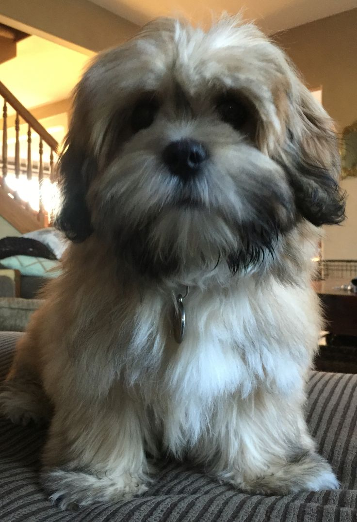 Lhasa Apso puppy                                                       …