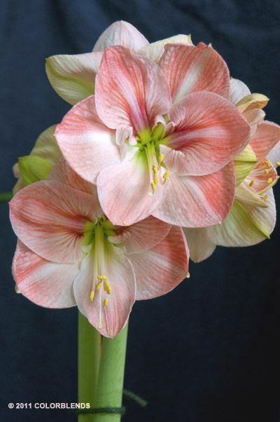 colorblends amaryllis faro pretty blommor pinterest. Black Bedroom Furniture Sets. Home Design Ideas