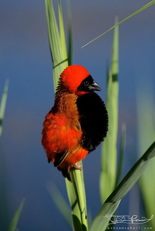 Southern Red Bishop by Joshua McPhail