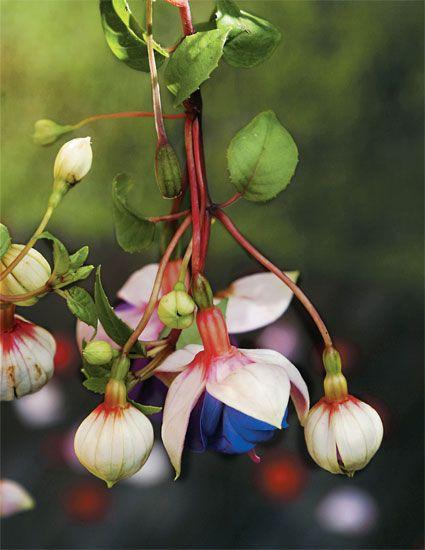 Brinco-de-princesa. Mais comum em regiões serranas, a Fuchsia hybrida apresenta várias combinações de cor. Gosta de sol, por isso precisa de regas frequentes