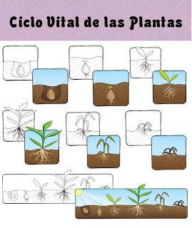 Menta Más Chocolate - RECURSOS PARA EDUCACIÓN INFANTIL: Ciclo vital de las PLANTAS