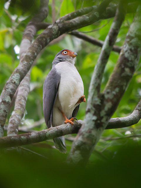 Foto falcão-críptico (Micrastur mintoni) por Sergio Gregorio | Wiki Aves - A Enciclopédia das Aves do Brasil