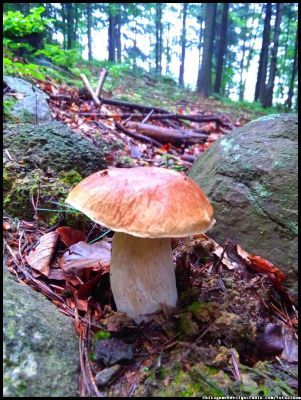 grzyby jadalne w Polsce - borowik (boletus) - Fungi of Poland - good edible species - #grzyby #grzybobranie #borowik #szlachetny #boletus #borowiki #prawdziwki #na-grzyby #kosz-grzybów #las #dary-lasu #forest #natura #przyroda #Polska #Poland #grzyby-jadalne #polskie-grzyby #grzybiarz #Adam #Matuszyk #małopolska #Beskidy #mushrooms