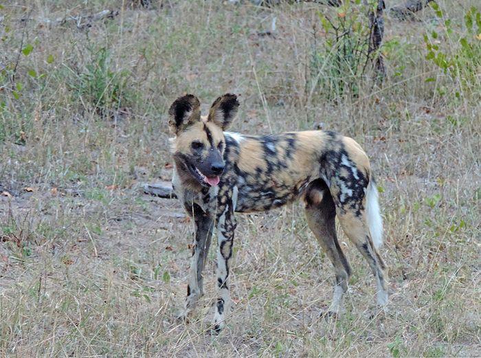 Licaón (Lycaon pictus) fotografiado en el parque Kruger, Sudáfrica, durante un safari. Descubre más sobre el licaón en Naturaleza a Vista de Pájaro