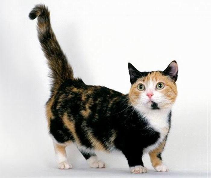 Munchkin-Katze. Nachdem ich meine Ragdoll & Maine Coon bekommen habe, wird dies der nächste sein! 😁   – Animal Love. ❤️