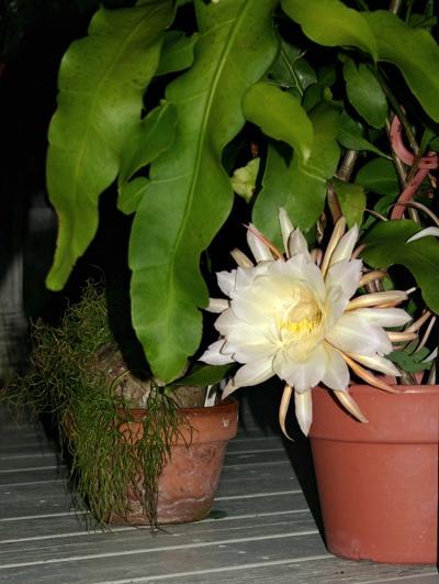 PlantFiles Pictures: Dutchman's Pipe Cactus, Night ... |Night Blooming Cereus Cactus Care