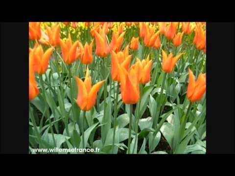 Les #tulipes sont la spécialité de Willemse depuis 1962. Cette variété pêche-abricot est magnifique.