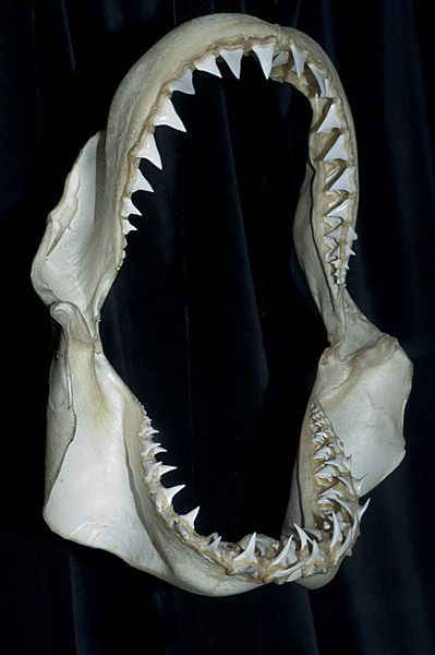great white shark jaws
