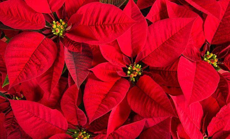 La stella di Natale è la pianta più regalata sotto le Feste, ma come si cura? E quali sono i segreti per conservarla? Ecco una piccola guida semplice!