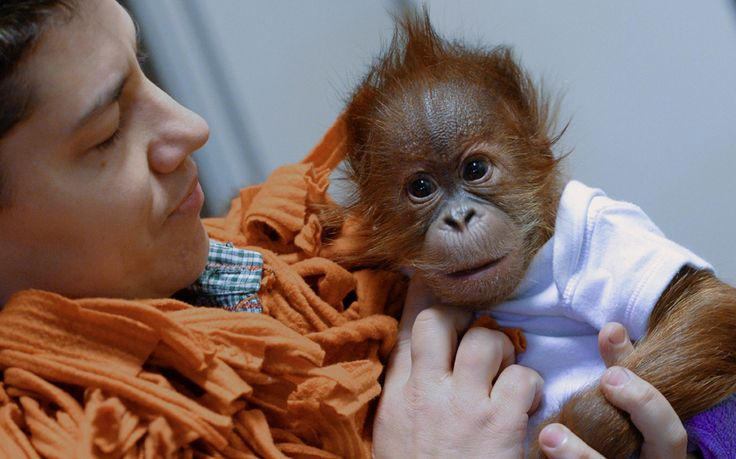 Three-month old orangutan baby Bulu Mata (literally: huge eyelashes) is prepared to travel to his new home, the Monkey World of Dorset Picture: AFP/Getty Images
