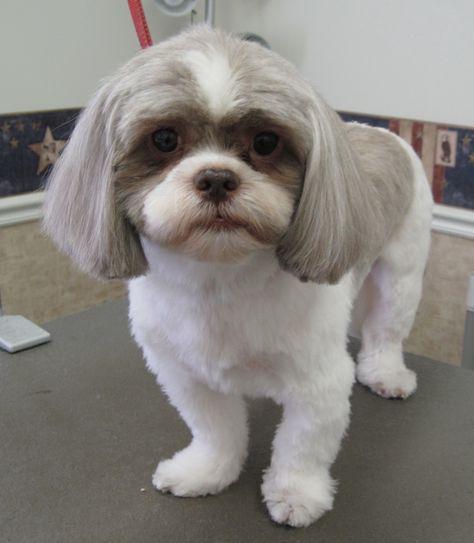 Shih Tzu Dog Haircuts Choice Image Haircuts For Men And Women