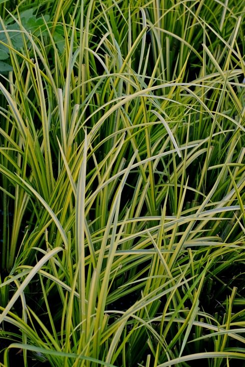 30 best images about hammett garden on pinterest shrubs for Tall grasses for shade