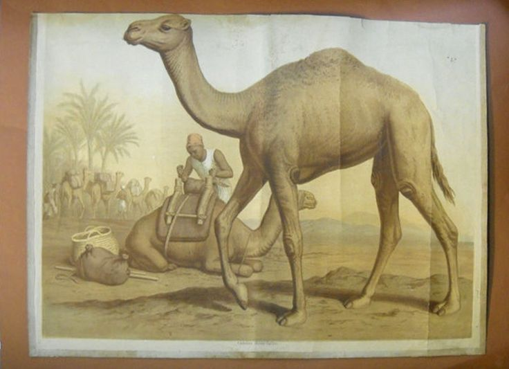 """Dromedario: Manifesto scolastico (tavola) raffigurante il dromedario """"Camelus dromedarius"""""""