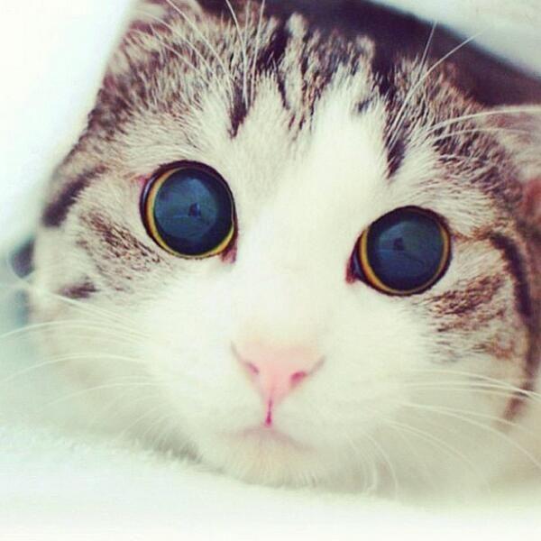 #Cats #Cat #Kittens #Kitten #Kitty #Pets #Pet #Meow #Moe #CuteCats #CuteCat #CuteKittens #CuteKitten #MeowMoe Wow, shockingly beautiful eyes. ... https://www.meowmoe.com/28746/