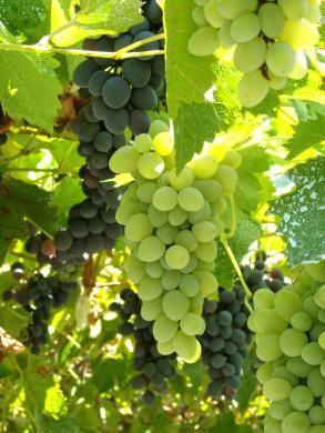 Vigne : une grimpante décorative et productive | Le Magazine — Gamm vert
