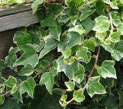 Ivy English variegated
