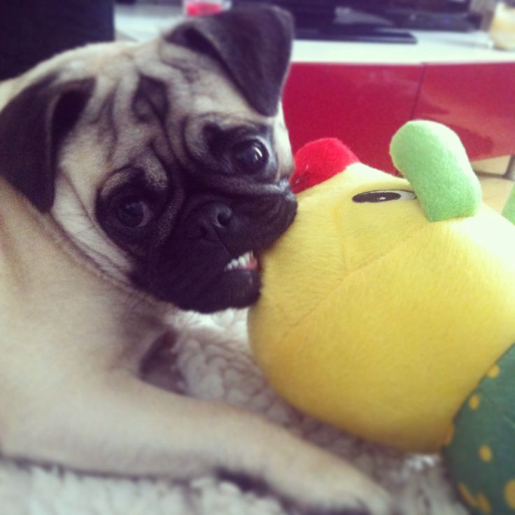 10217 best images about Pugs on Pinterest | Pug life, Pug ...