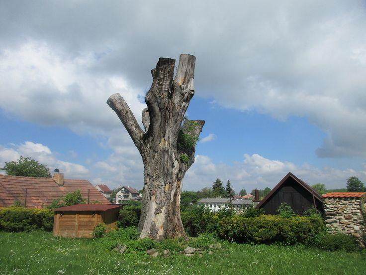 Pahýly stromu