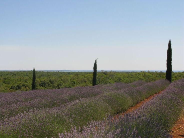 Beautiful lavender fields in #Istria at arboteum Histria Aromatica near #Bale! #croatia #nature #lavander