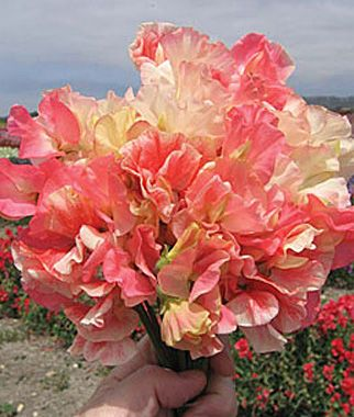 Sweet Pea, Incense Peach Shades - Sweet Peas at Burpee.com