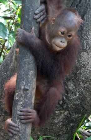 Visit the Rasa Ria Orangutan Sanctuary - Kota Kinabalu, Malaysia