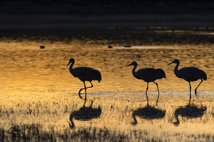 "https://flic.kr/p/RWvtHS | Sandhill Cranes On Golden Pond | Golden evening light created a beautiful reflection on a pond.  A group of Sandhill Cranes sauntered right into the frame at the perfect moment. Peaceful and serene scene was a real reward for waiting for the ""good light.""    Bosque del Apache National Wildlife Refuge, New Mexico."