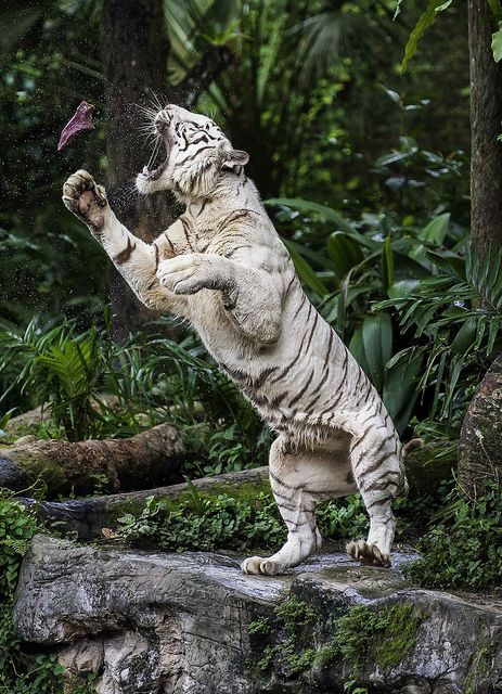 White Royal Bengal Tiger in Singapore, jumping for butterflies to put on his toast