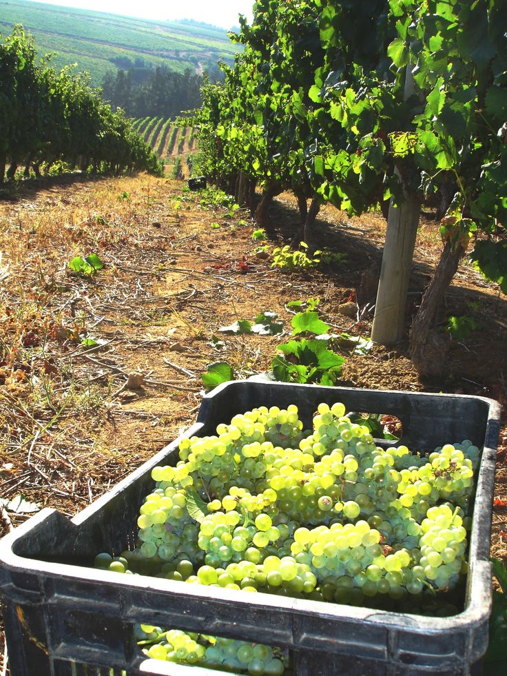 Harvesting the Chardonnay 2014