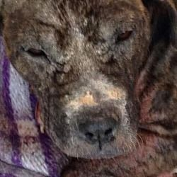 Pictures of Tabby a American Pit Bull Terrier for adoption in New York, NY who needs a loving home. #pitbull
