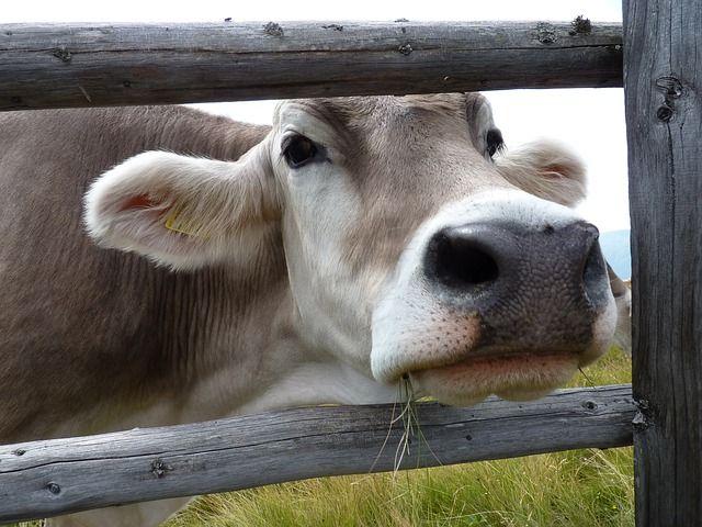 """Hubo un interés especial en mejorar el ganado vacuno. Una mejora que perduró incluso después de la caída de Roma ya que """"es posible que el conocimiento zootécnico de la época anterior no se perdiera de forma abrupta y el ganado romano mejorado se mantuviese varias generaciones""""."""