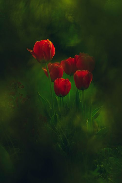 Flower Photo Flowers Pinterest Tulips And Red