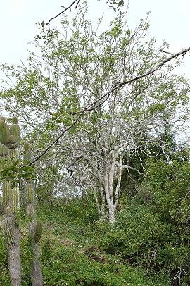 Bursera graveolens, aka palo santo (holy wood)    The tree belongs to the same family as frankincense and myrrh. Used also as smudging incense.